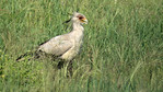 The great savanna-strider: Secretary-bird, photographed by participant Jody Gillespie.