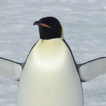 An adult Emperor Penguin, photographed by Joyce Takamine.