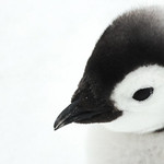 An Emperor Penguin chick, photographed by Joyce Takamine.
