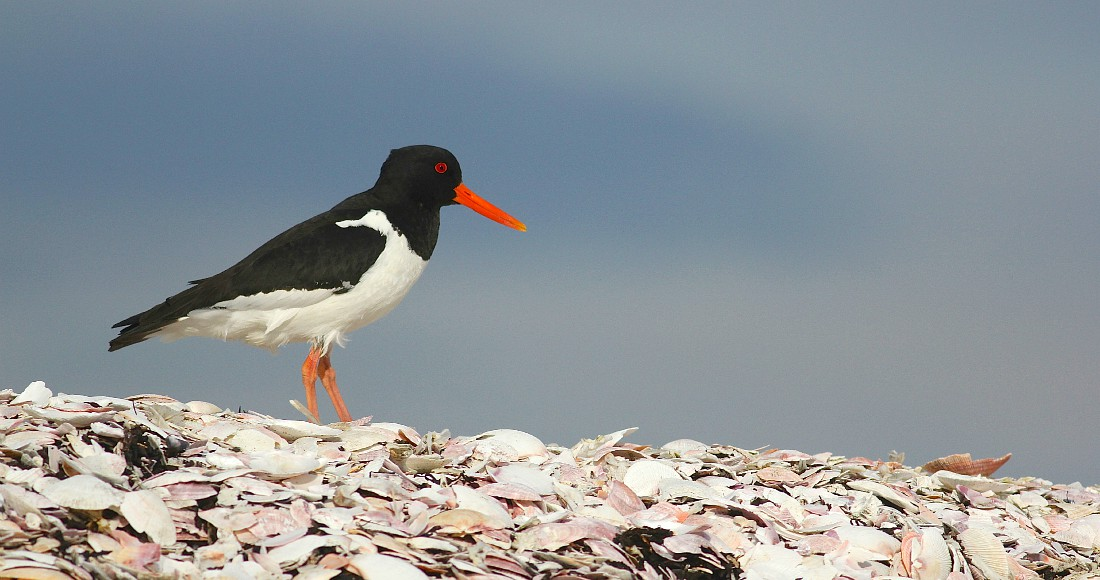 Eurasian Oystercatcher in Iceland by guide Eric Hynes. Next departure: June 21-30, 2016