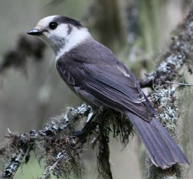 Gray Jay by guide Eric Hynes