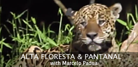 Jaguar by guide Marcelo Padua