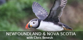 Atlantic Puffin by guide Chris Benesh