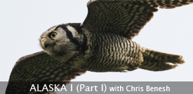 Northern Hawk Owl by guide Chris Benesh